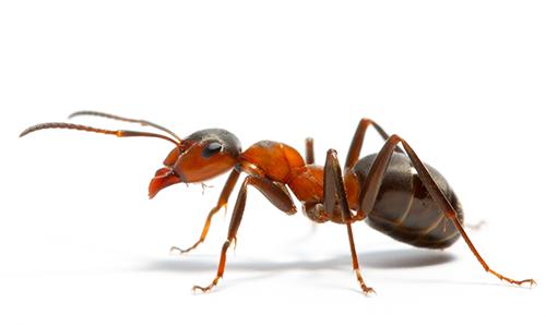 Dedetização de Formigas São Paulo e Região