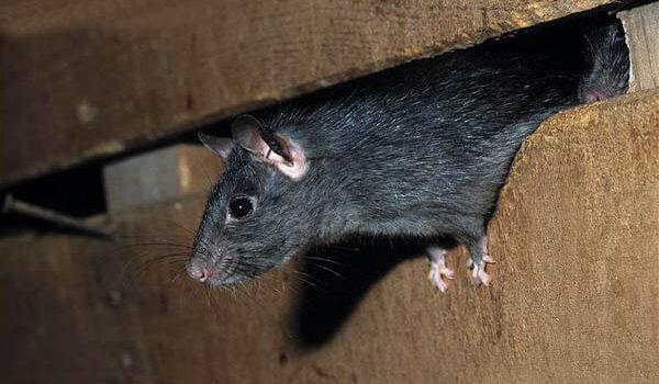Riscos à saúde que os ratos podem trazer